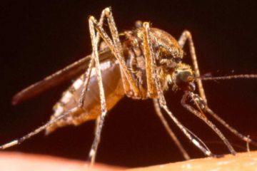 mosquitos guadalmar